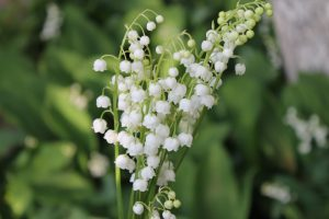 Lily of the valley grief counselling